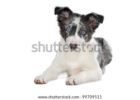 blue merle border collie puppy in front of a white background