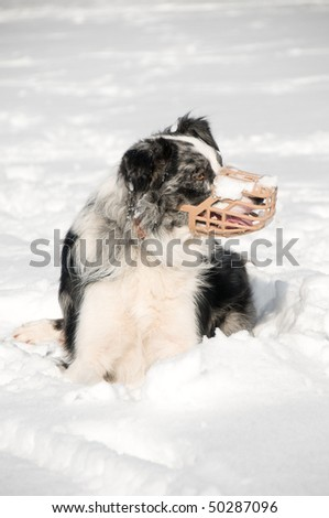 Blue Merle Border collie wearing muzzle in a snowy scene - stock photo