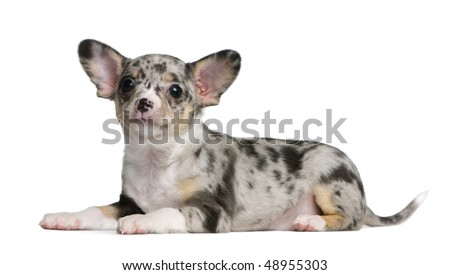 Blue merle Chihuahua Puppy, 8 weeks old, sitting in front of white background - stock photo