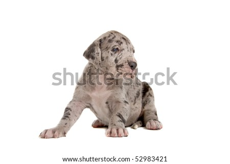 blue merle great dane puppy isolated on a white background