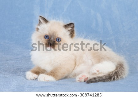 Blue Mitted Ragdoll kitten lying down on blue background  - stock photo