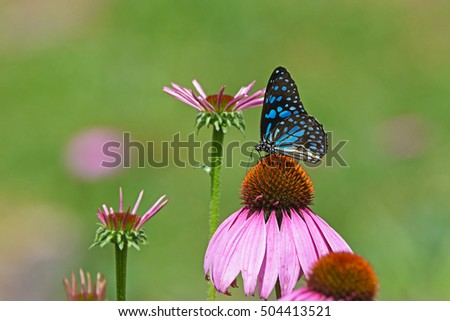 Blue Monarch butterfly with pink flower in garden