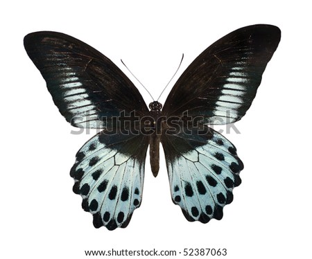 Blue Mormon or Papilio polymnestor is a large swallowtail butterfly found in South India and Sri Lanka.