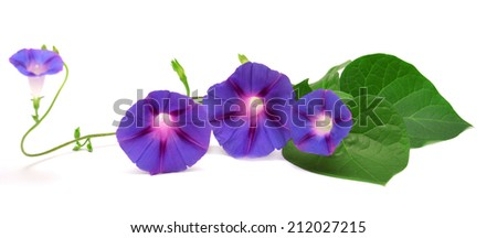 Blue Morning Glory with leaf isolated on white background
