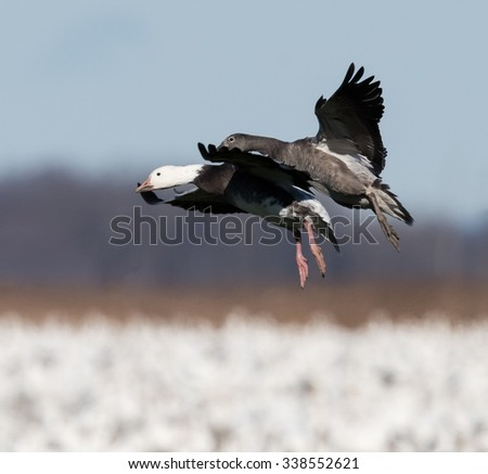 Blue Morph or Dark Form Adult and Immature Snow Geese Landing to Rest During Migration South in Fall - stock photo