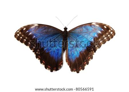 blue morpho - stock photo