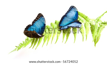 Blue Morpho butterflies - stock photo