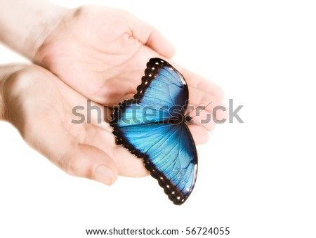 Blue Morpho butterfly - stock photo