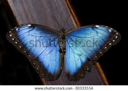 Blue Morpho Butterfly (Morpho peleides) - stock photo
