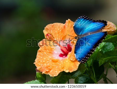 Blue Morpho butterfly (Morpho peleides) on yellow orange hibiscus flower with water droplets. Natural dark green background. - stock photo
