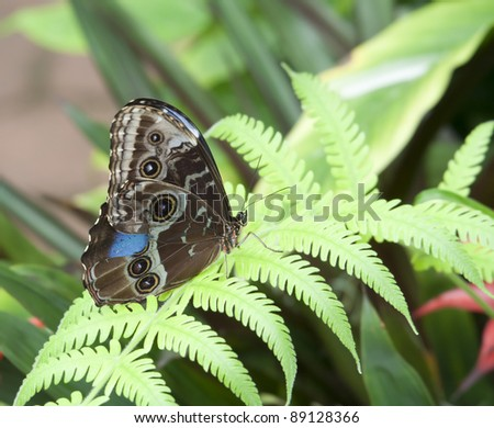 Blue Morpho Butterfly on Fern Leaf - Morpho peleides in a Butterfly House - stock photo