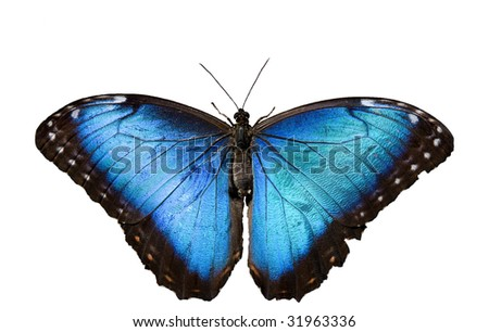 Blue Morpho butterfly on white background - stock photo