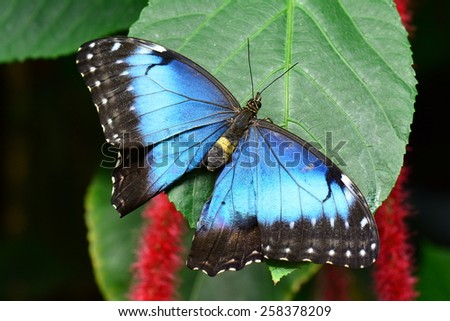 Blue Morpho butterfly spreads its wings and shows off its iridescence in the butterfly gardens. - stock photo
