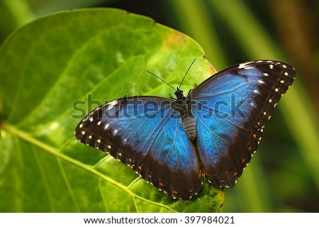 Blue Morpho, Morpho peleides, big Butterfly sitting on green leaves, insect in the nature habitat, Panama - stock photo