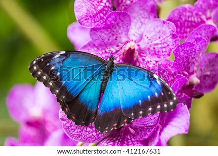 Blue morpho (morpho peleides) on green nature background, close-up. - stock photo