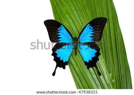 Blue Mountain Butterfly on a green coconut palm leaf. - stock photo