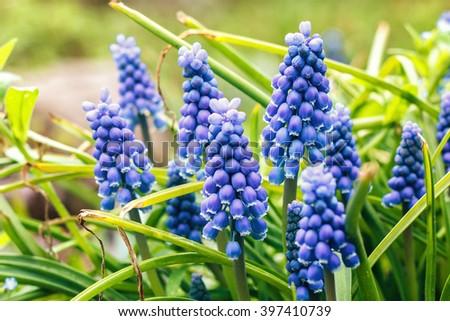 Blue Muscari armeniacum flower (Grape Hyacinth) blooming in spring garden - stock photo