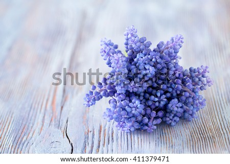 Blue muscari flowers (Grape hyacinth) on wooden background - stock photo