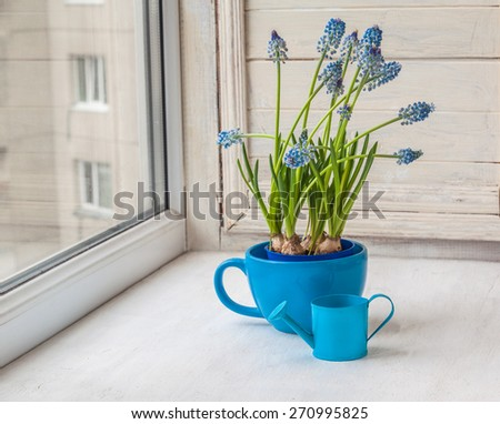 Blue muscari in blue cup  with  decorative watering can on the window - stock photo