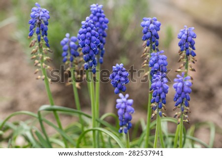 Blue Muscari Mill flowers close-up in the spring - stock photo