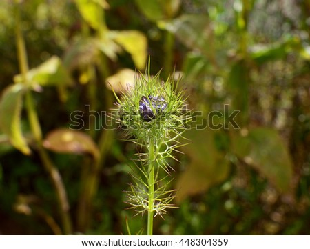 Blue nigella - love in a mist - flower bud contained inside frondy foliage - stock photo