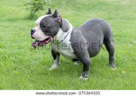 blue nose american bully is standing baside very smart on the yard