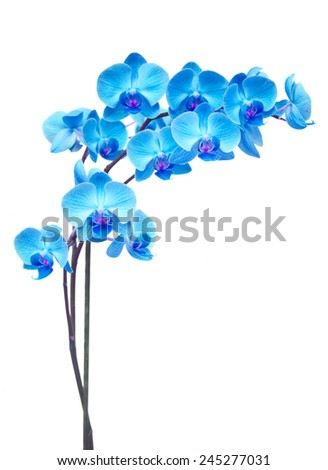 blue  orchid branch isolated on white background - stock photo