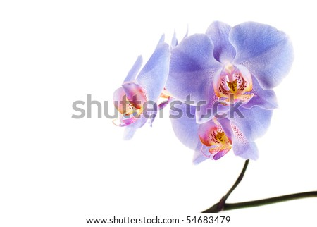 Blue Orchid on the white background - stock photo