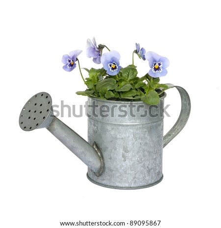 Blue pansies in a zinc watering can isolated on white. - stock photo