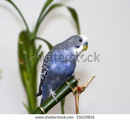 Blue parakeet on the branch - stock photo