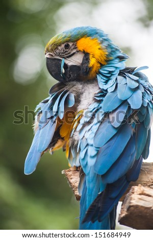 blue parrot grooming feathers
