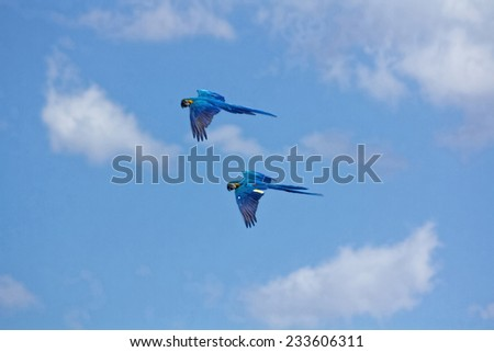 blue parrots with yellow casing in flight - stock photo