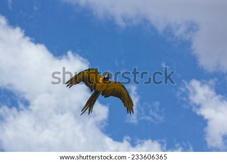 blue parrots with yellow casing in flight