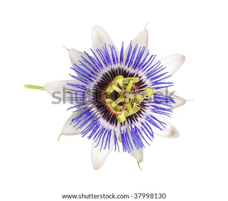 stock-photo-blue-passion-flower-passiflo