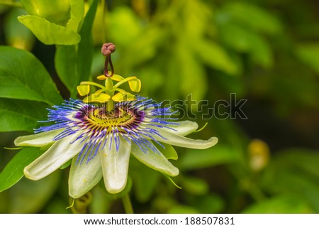 Blue Passion Flower With Copy Space - stock photo
