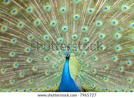 Blue peacock strutting with full feathers - stock photo