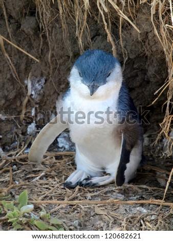 Blue penguin on Phillip Island, Australia - stock photo