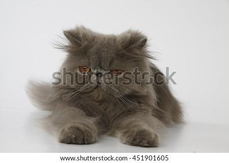Blue persian cat feeling sleepy on white background - stock photo