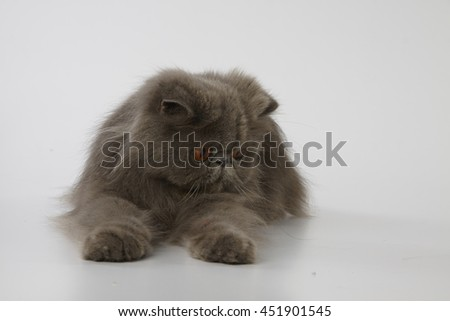 Blue persian cat looking down at something on white background - stock photo