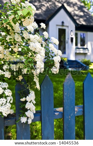 Blue picket fence with flowering bridal wreath shrub and residential house - stock photo