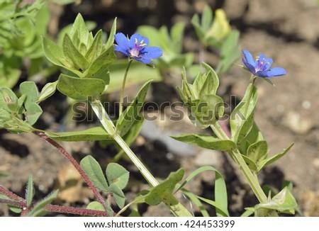Blue Pimpernel - Anagallis arvensis foeminaSmall Blue Flower - stock photo