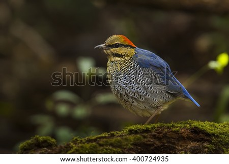 Blue pitta male in the nature.