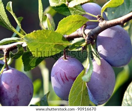 Blue plums - stock photo