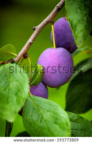 Blue plums on the tree  - stock photo