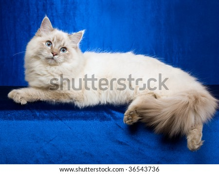 Blue point lynx Ragdoll on blue fabric background - stock photo