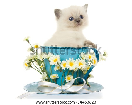 Blue point Ragdoll kitten in large cup and saucer with white flowers and ribbon, on white background - stock photo