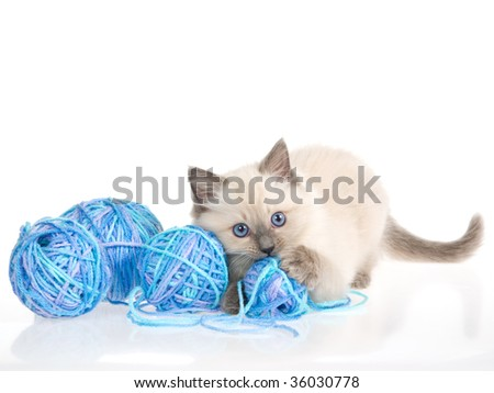 Blue point Ragdoll kitten with balls of yarn, on white background - stock photo