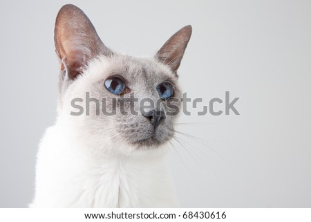 Blue Point Siamese Cat posing on gray background - Close-up Portrait - stock photo