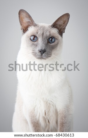 Blue Point Siamese Cat posing on gray background - Portrait - stock photo