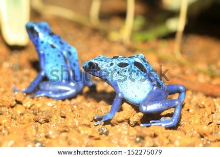 Blue Poison Dart Frog (Dendrobates azureus) in Republiek Suriname - stock photo